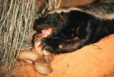 HONEY BADGER -- chowing down on a snake! (Wikimedia Commons)