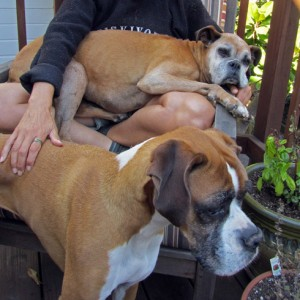 Pet sitting: two dogs in San Francisco