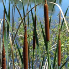 The best use of your time right now may be spending time in nature: cattails at Anderson River Park.